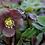 Thumbnail: Helleborus Orientalis Mixed