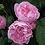 Thumbnail: Mary Rose Rose Shrub