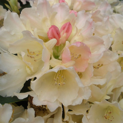Rhododendron Golden Torch 3ltr