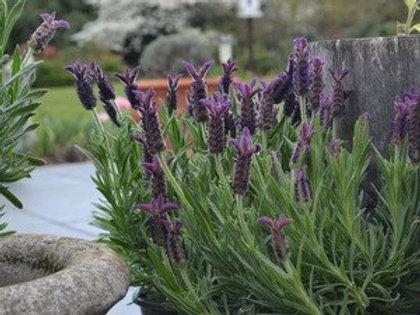 Lavender Helmsdale