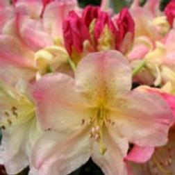 Rhododendron Virinia Richards 5ltr