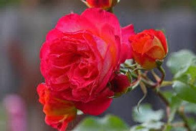 Dwarf Fairy Patio Rose