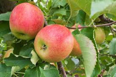 Apple Jonagold Tree