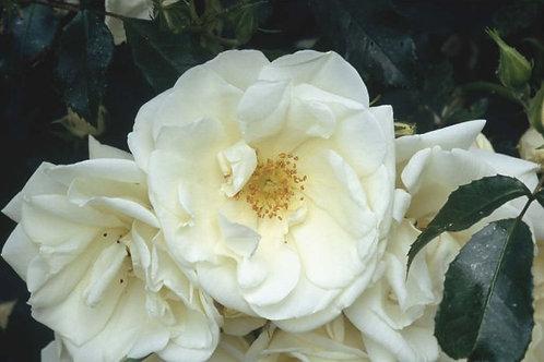 Rosa Carpet White