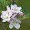 Thumbnail: Apple Bramley Tree