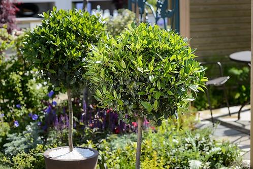 Laurus Nobilis Stem (Bay tree)