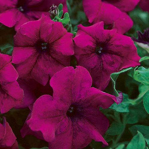 Bedding Surfinia Petunia Majenta Purple 1.4ltr