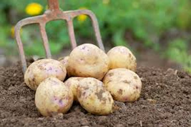 British Queens second Early Seed  Potato's 5kg