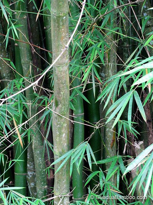 Bambusa Vulgaris (Common Bamboo)