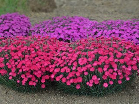 Dianthus Frilly