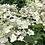 Thumbnail: Hydrangea Bright White