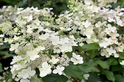 Hydrangea Bright White