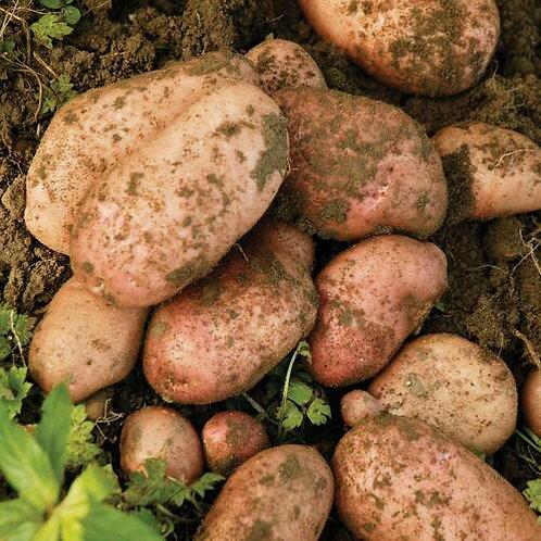 Sarpo Mira Maincrop Seed Potato's 2kg