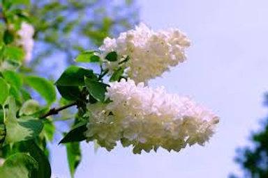 Buddleia White Bouquet