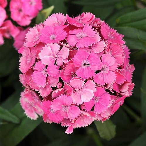 Dianthus Dash Pink 2ltr