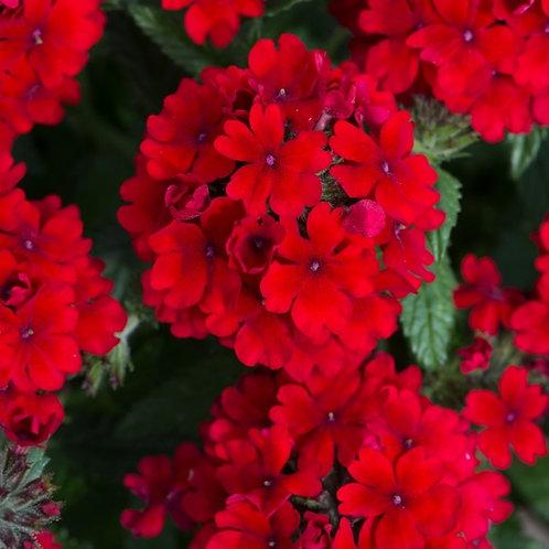 Verbena Dark Red 1.4L