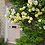 Thumbnail: Golden Showers - Climbing Rose
