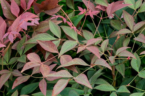 Nandina Domestica Curly Obsessed 2ltr