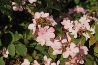 Viburnum Pink Beauty