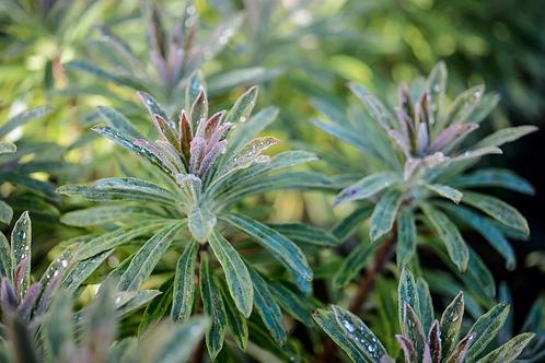 Euphorbia x martini  Ascot Rainbow