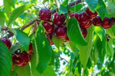 Cherry Stella Tree