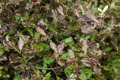 Pittosporum tenuiflium Tom Thumb 3ltr