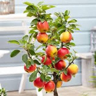 Apple  Malus Elstar Tree