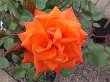 Wildfire Patio Rose