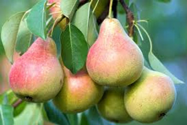 Pear Clapps  Favourite