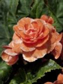 Begonia Double Orange Prepack Summer Bulbs