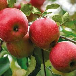 Apple Discovery Tree