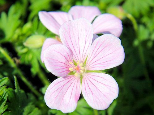 Geranium sanguineum Pink Pouffe