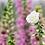 Thumbnail: Digitalis Albiflora (Foxglove)