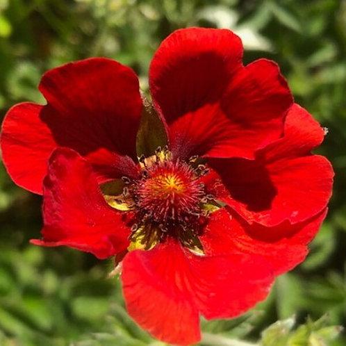 Potentilla atrosanguinea var. Scarlet Starlit