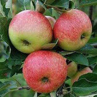 Apple James Grieve  Tree