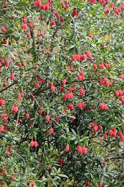 Crinodendron Hookeranum