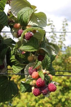 Raspberry Autumn Passion 2ltr