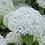 Thumbnail: Hydrangea Annabelle