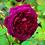 Thumbnail: Rosa Munstead Wood