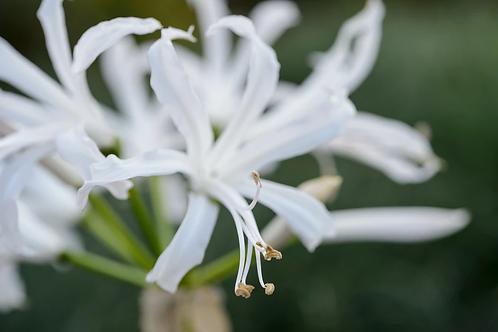 Nerine bowdenii 'Alba' Prepack Summer Bulbs