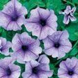Bedding Surfinia Petunia Lavender Vein 1.4ltr