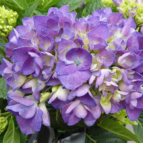 Hydrangea Amor Blue