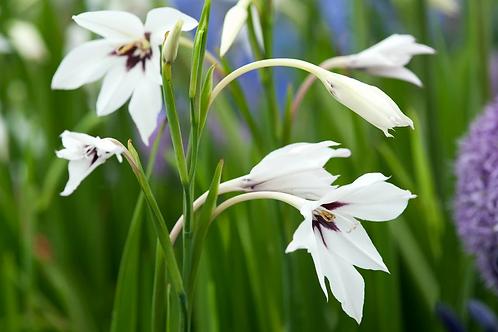 Gladoli Callianthus 'Murielae' Prepack Summer Bulbs
