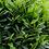 Thumbnail: Laurus Nobilis Stem (Bay tree)
