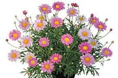Argyranthemum Lolly