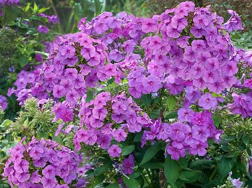Phlox paniculata Purple Flame