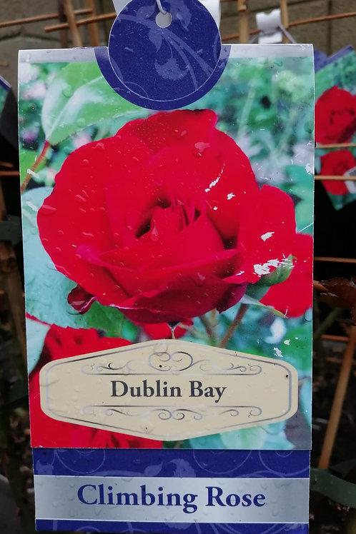 Dublin Bay - Climbing Rose
