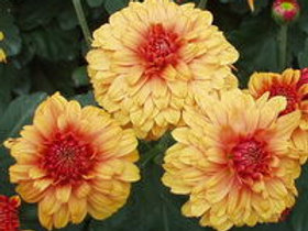Chrysanthemum Beppie Bronze
