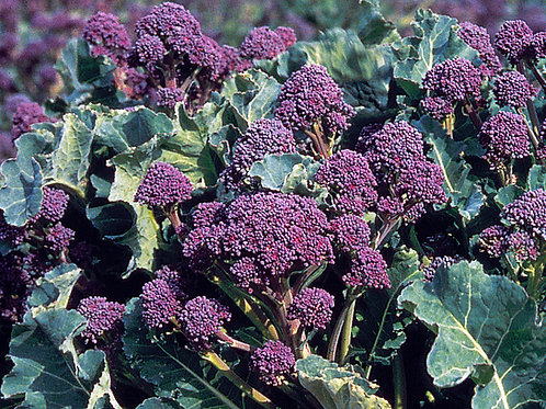 Unwins Broccoli (Sprouting) Early Purple