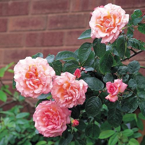 Compassion - Climbing Rose
